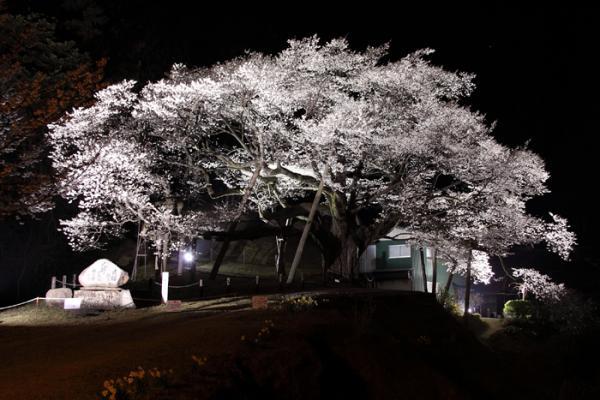 三隅大平桜ライトアップ