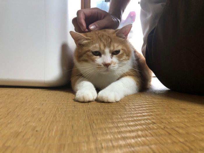 ワンにゃんべぇハウス大江屋の猫