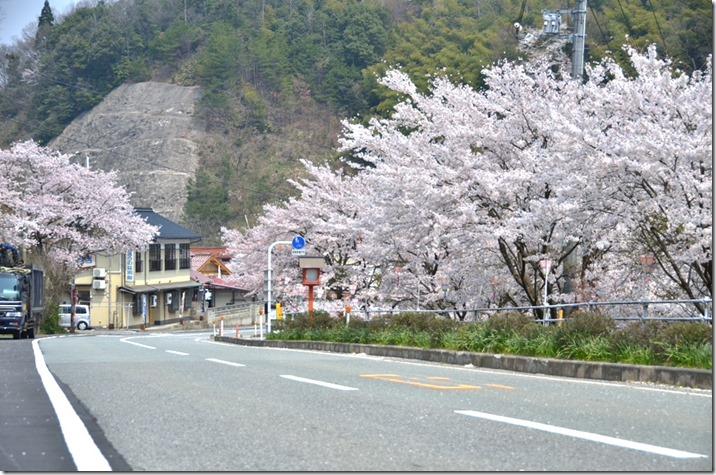 旭温泉の桜