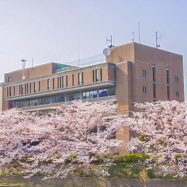 浜田市役所裏の桜