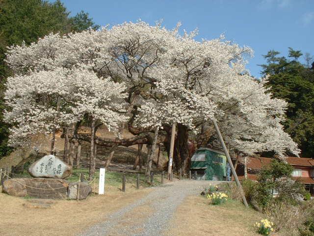 三隅大平桜(国指定天然記念物)