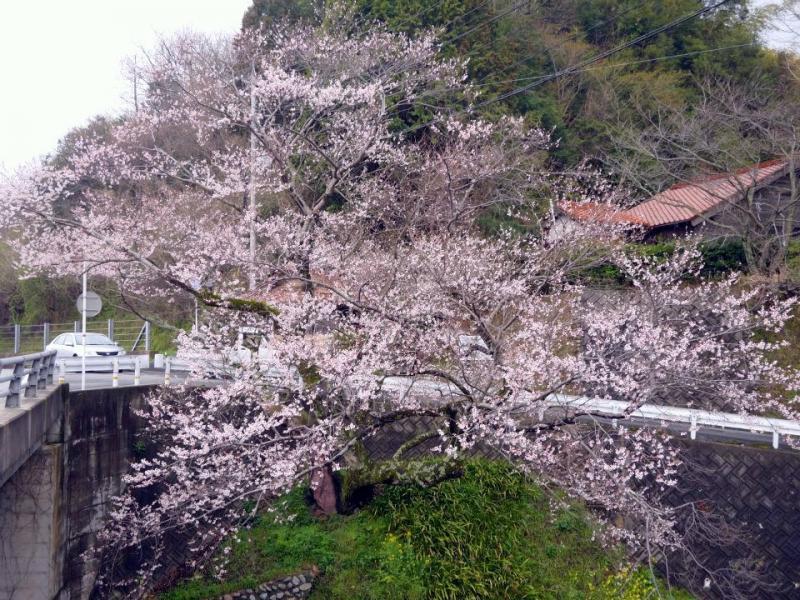 佐々木桜(浜田市指定天然記念物)