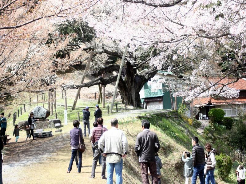 大平桜まつり