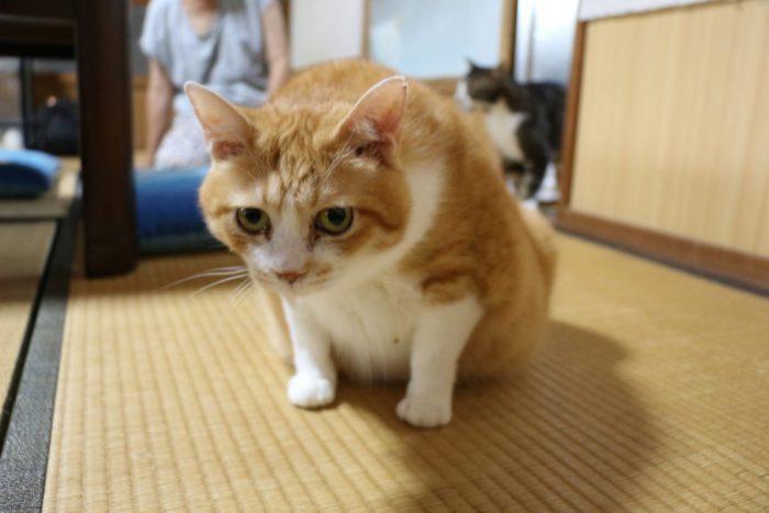 ワンにゃんべぇハウス大江屋の猫しいた