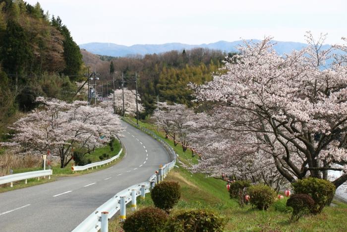 島根県浜田市弥栄町・野坂桜並木